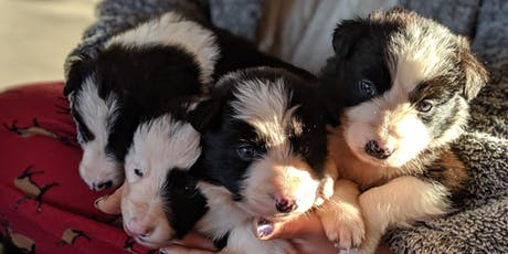 Working Sheepdog Puppy Encounter tickets