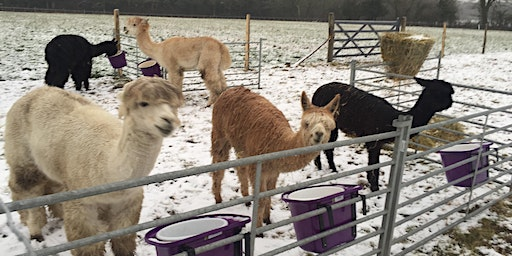 Festive Mince Pies with the Alpacas