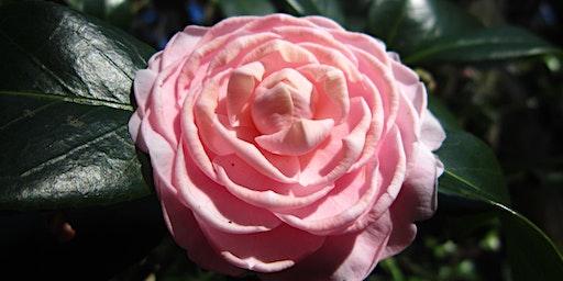 Camellia Walking Tour