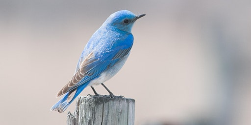 Bird Carving - Carve a Mountain Bluebird with Cam Merkle