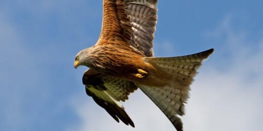 Red Kite Roost