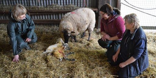 Cyrsiau Wyna | Lambing Day Courses