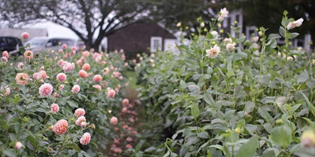 Digging, Dividing, and Storing Your Dahlias - October 2020 tickets