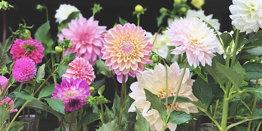 Growing Gorgeous Dahlias 2020