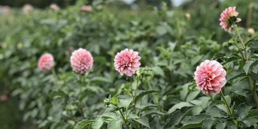 Harvesting Dahlias 2020