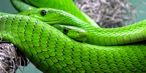 Snake Safety Talk  For The Whole Family (Cessnock)