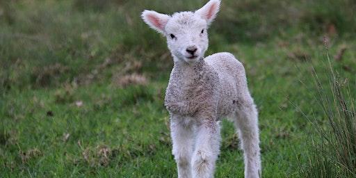 Lamb Taxidermy