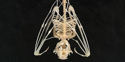 Skeleton Articulation - Bats, Frogs and Rats