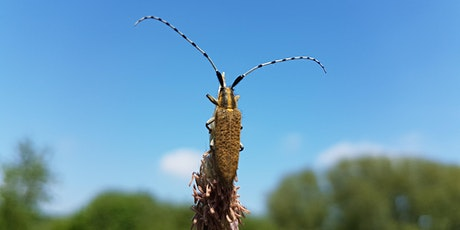 Longhorn Beetle Field Identification tickets