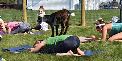Cool Hollow Goat Yoga 2020 Outdoor Opener