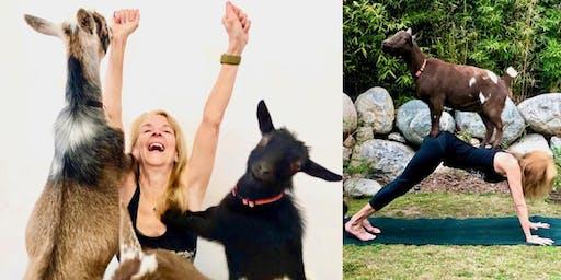 Hello Critter Goat Yoga in Pasadena