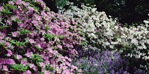 Azaleas and Rhododendrons at Winterthur
