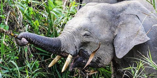 Pygmy Elephants and Plantations; Wildlife Conservation in Borneo.