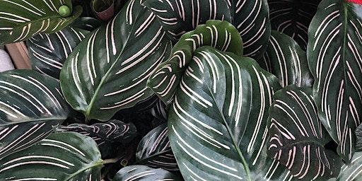 Plant 101 Happy Hour: Calatheas