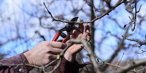 Fruit Tree Pruning 1/25