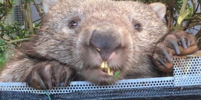 Wombat Care - ACT Wildlife