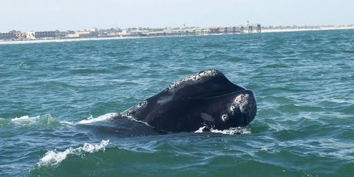 North Atlantic Right Whales: How you can help!