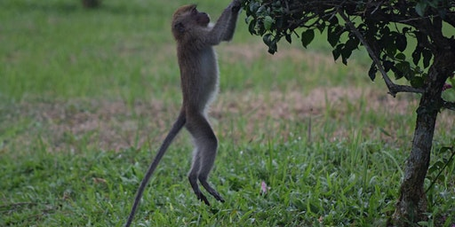 A walk with your neighbours: the monkeys of Lower Peirce