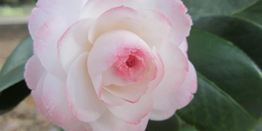 What to Know Before Purchasing a Camellia
