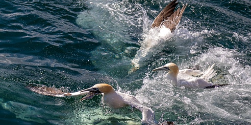 RSPB Diving Gannets Seabird Cruises, Bempton Cliffs 2020