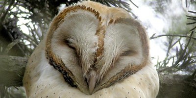 Barn Owl Talk