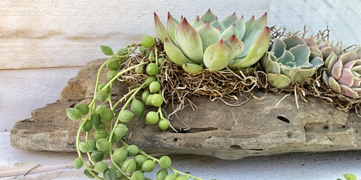 California Driftwood Succulent Arrangement