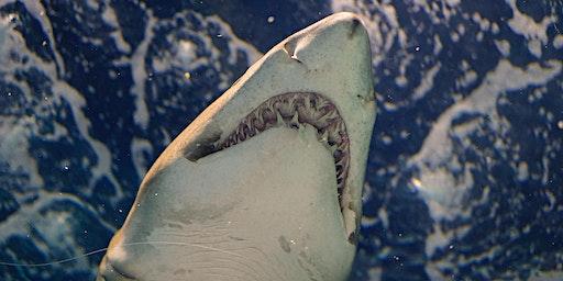 De Haai laat zijn tanden zien