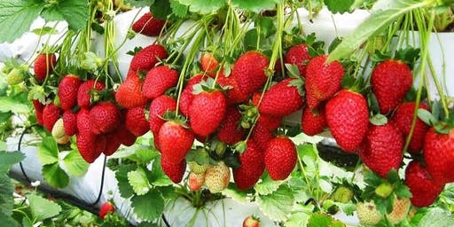 Strawberry picking with the RANCH