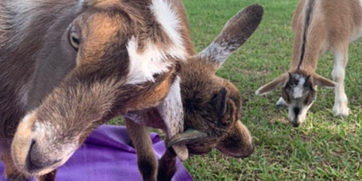 Goat Yoga Texas - Sat, Jan 18 @ 10AM