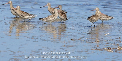 Sydney Shorebird Workshop and AGM - BirdLife Southern NSW