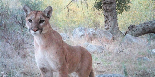 Mystery Cat: Southern California's Elusive Mountain Lion