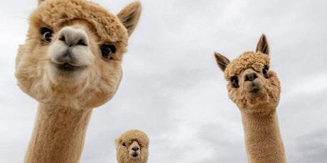Alpaca Yoga! tickets