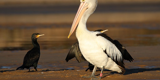 *CANCELLED* What a wonderful bird is the Pelican! 19 January 2020 - Lakes Entrance