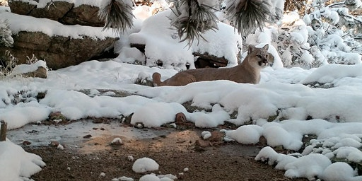 Workshop: Filming Mountain Lions