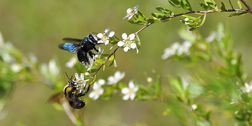 Our Native Pollinators - Boonah