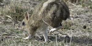 CANCELLED Junior Rangers Bouncing Bandicoots- Point Nepean National Park
