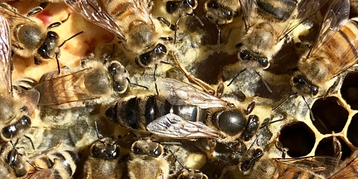 CANCELLED DUE TO SNOW Winter Bee Lectures – session one – queens, workers