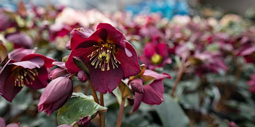 Hellebores & Early Bloomers - CH