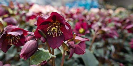Hellebores & Early Bloomers - LO tickets