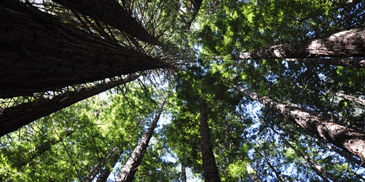 "Forest Therapy ""Redwood Forest"""