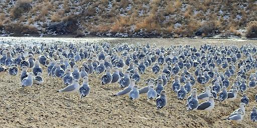 Field Trip:  Landfill Gulls