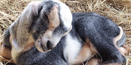 Cocktails & Cuddles: Happy Hour with Baby Goats! tickets