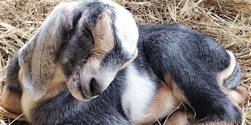 Cocktails & Cuddles: Happy Hour with Baby Goats!