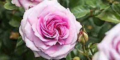 Rose Pruning with Laura Weaver & Lynn Hillman