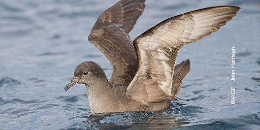 Short Tailed Shearwater Arrivals 22 January 2020 - Port Fairy