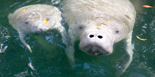 Paddle with the Manatees in Florida, 6 nights, 5 days, multiple rivers