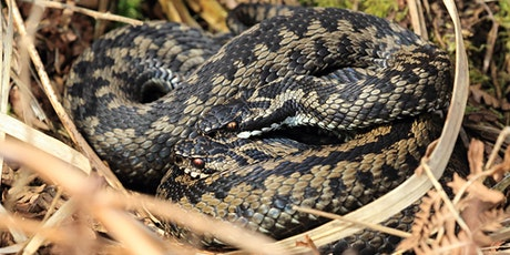 Adder emergence amble - afternoon walk tickets