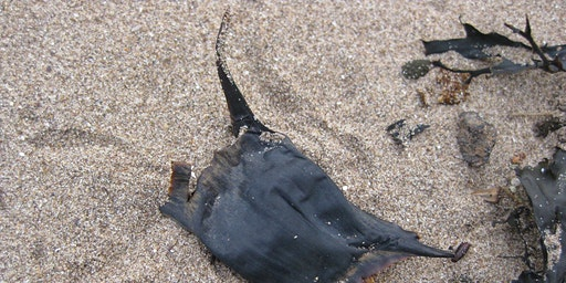 Great Eggcase Hunt Family Beach Adventure