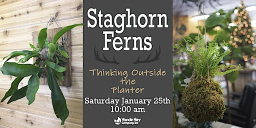 Staghorn Ferns:Thinking Outside the Planter