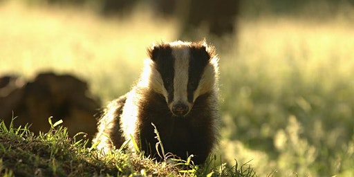 CANCELLED Badger Vaccination against Bovine TB.